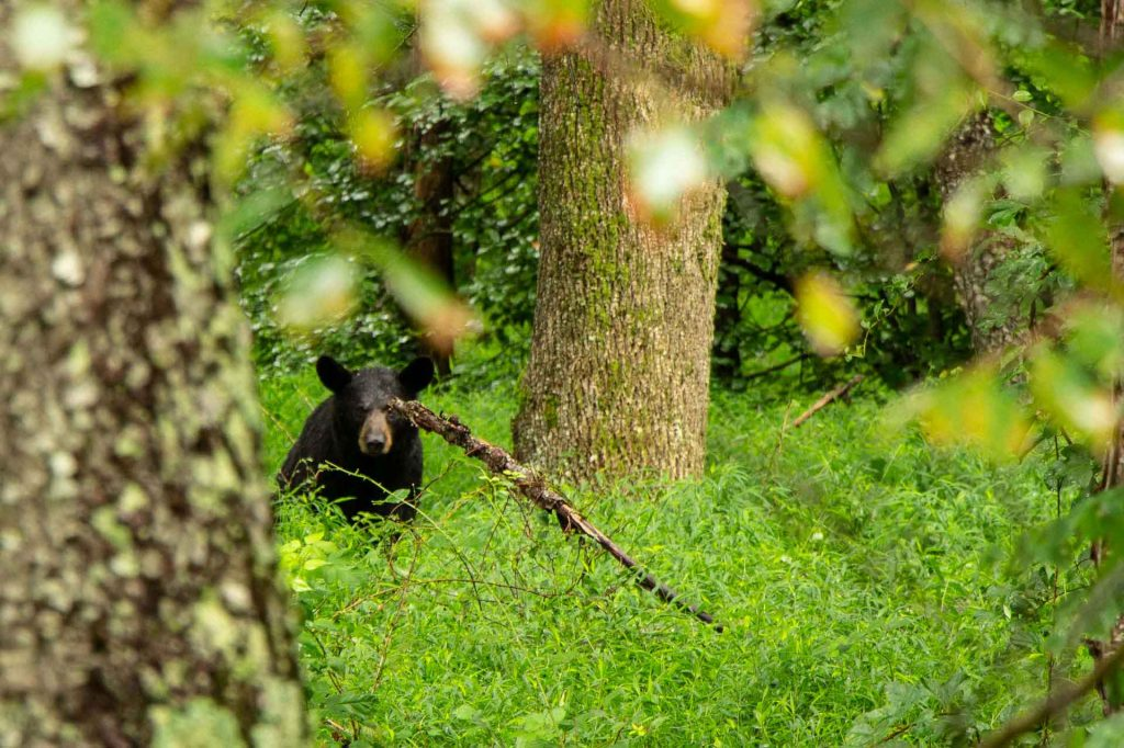 southern usa road trip with kids - Black bear in Shenandoah National Park