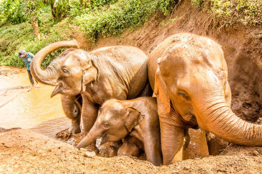 Elephants playing in mud at elephant sanctuary Thailand