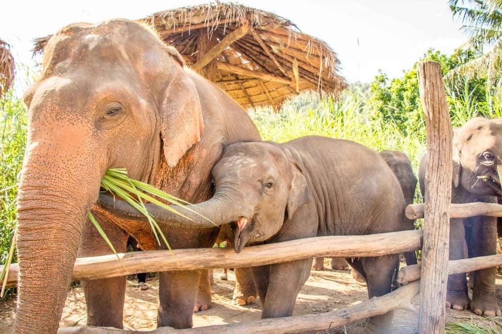 Elephants at Elephant Nature Park Chiang Mai Thailand