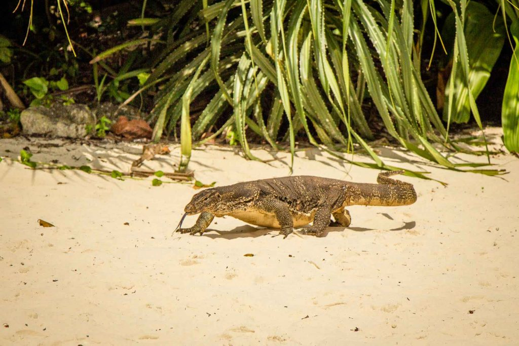 Monitor lizard on Hong Island Thailand