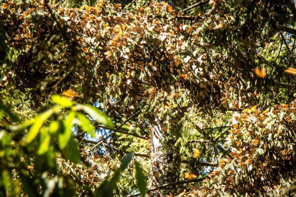 Butterflies in Piedra Herrada Sanctuary Valle de Bravo Mexico