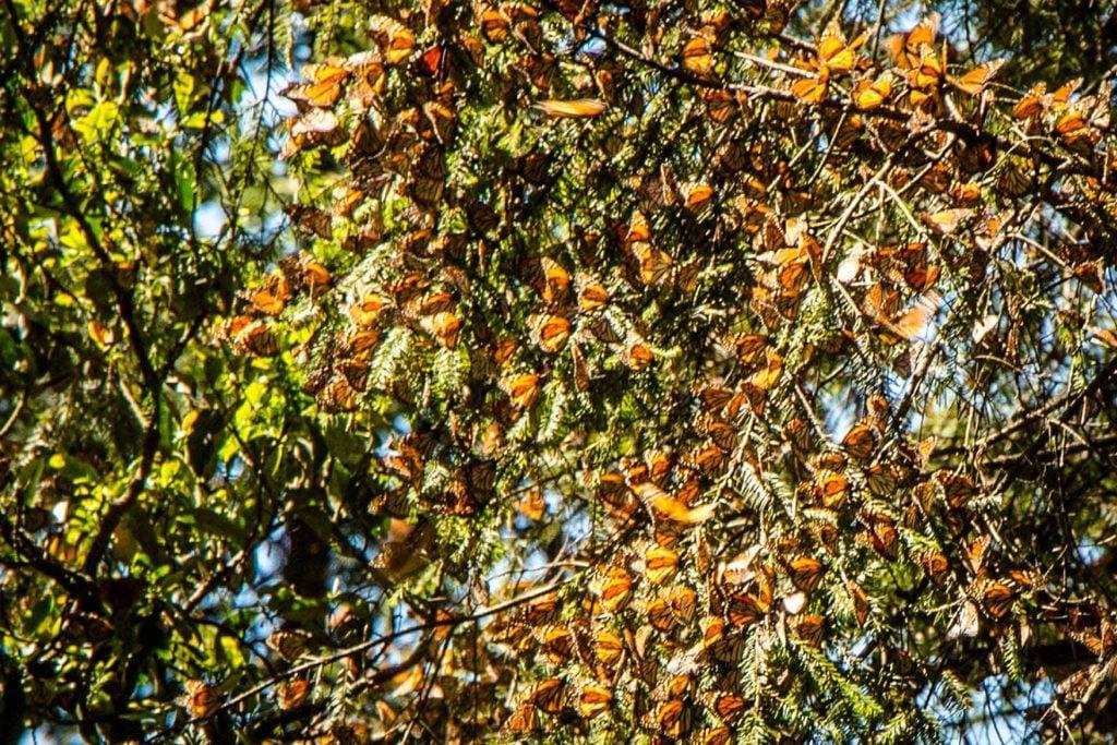 Clusters of Butterflies in Piedra Herrada Sanctuary Valle de Bravo Mexico