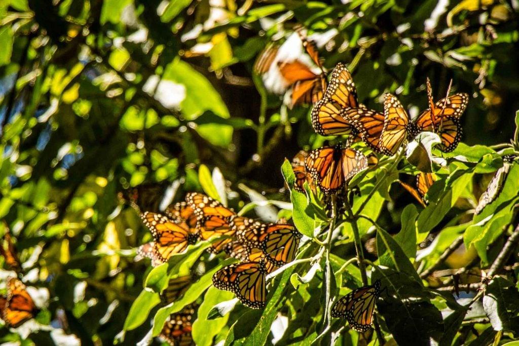 Monarch Butterflies in Piedra Herrada Sanctuary Valle de Bravo Mexico