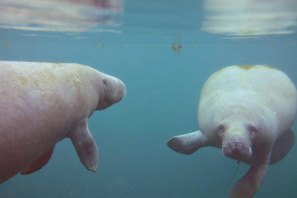 See Manatees underwater Kayak Silver River