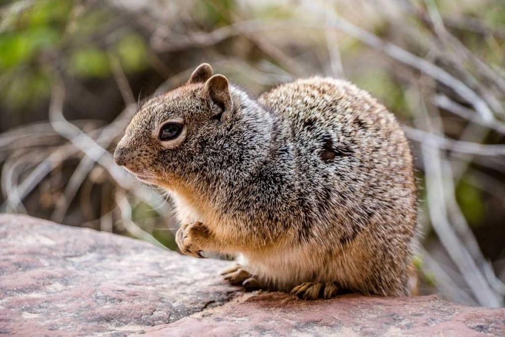 zion national park wildlife - squirrel on Riverside Walk