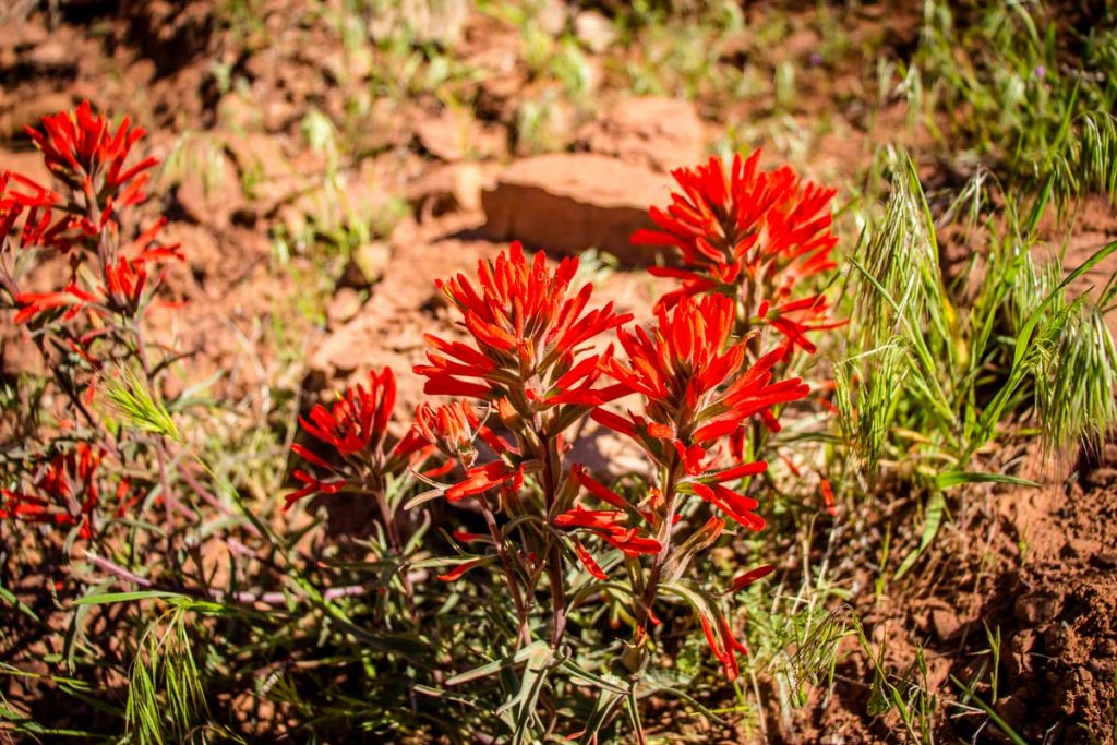 Image of an Indian Paintbrush flower - The Watchman Trail - Zion National Park