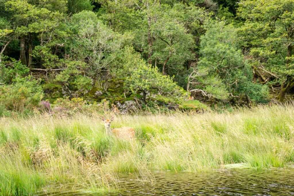 image of deer along shores of lakes of Killarney in Ireland