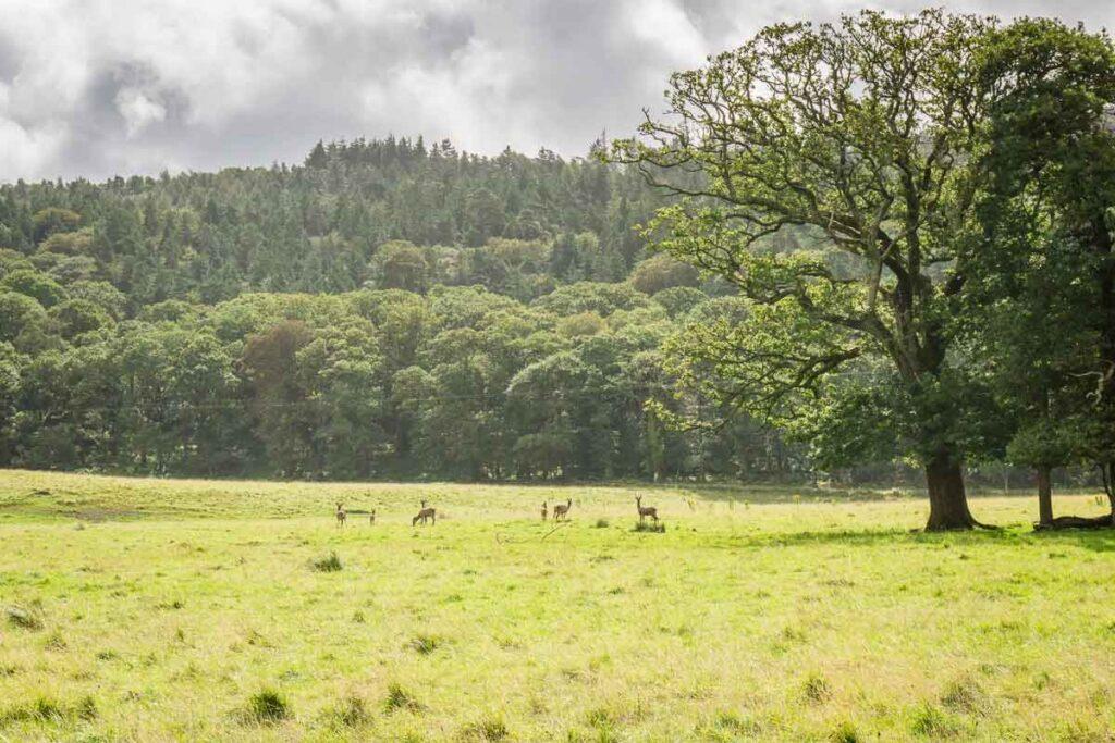 image of deer in a field in Killarney NP Ireland