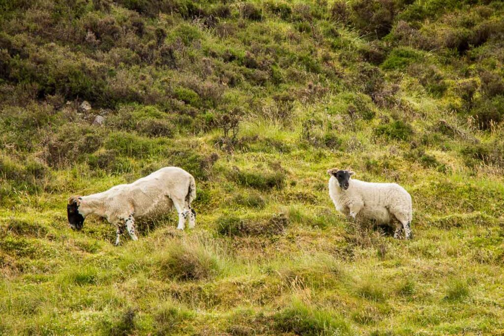 image of two sheep with black faces surrounded by grass
