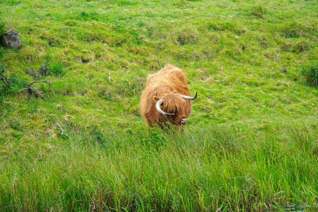 image of highland cow standing in long grass