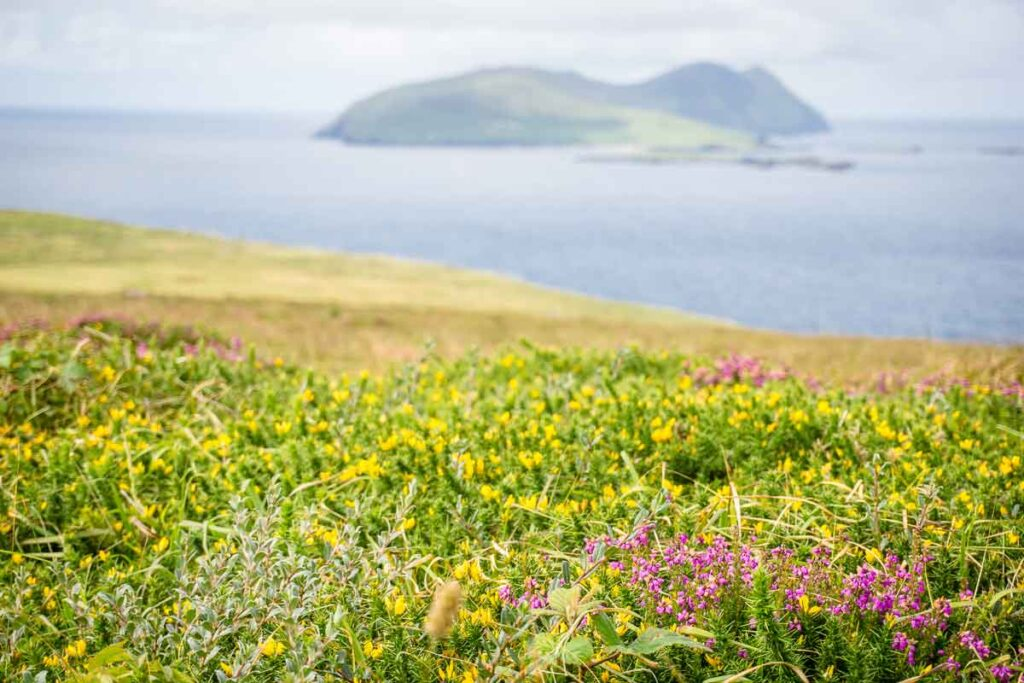 image of a field of flowers with ocean and an island in the distance from Dingle Peninsula