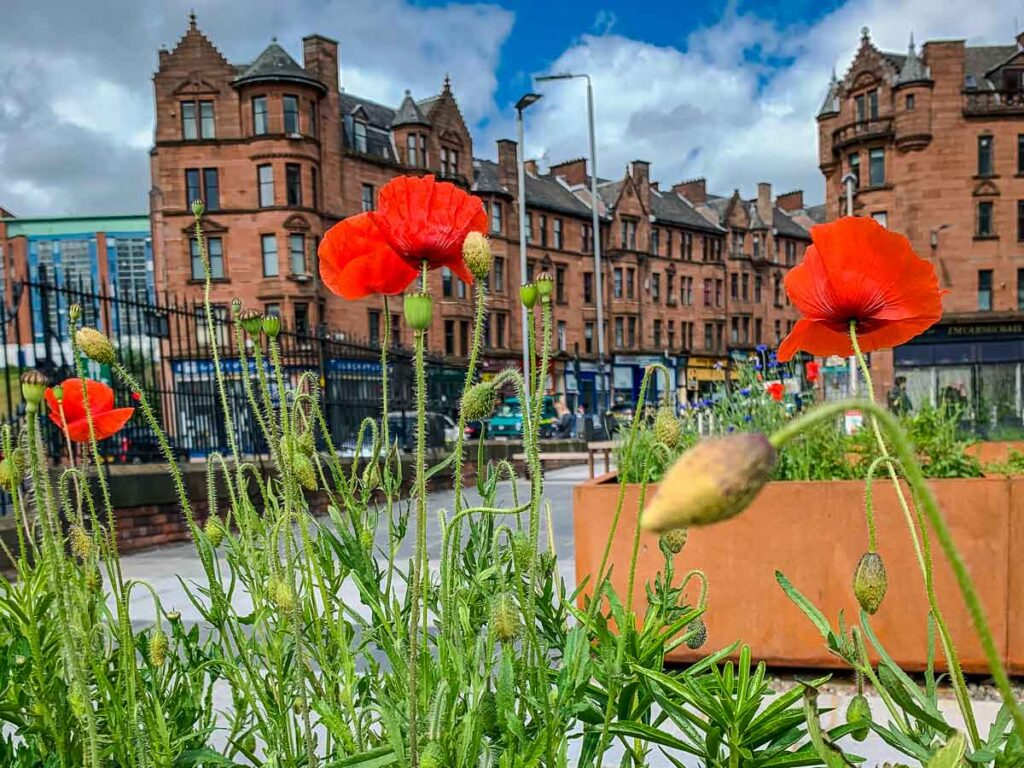 Close up image of red poppies with buildings in Glasgow in the background