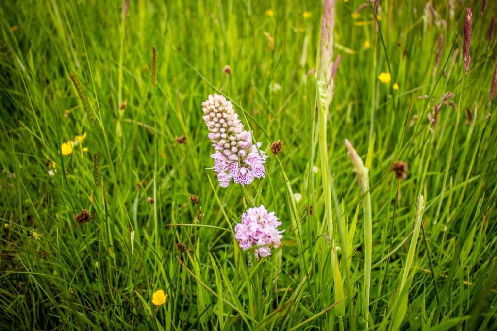 image of pink flowers amongst green grass along hiking trail in Scotland