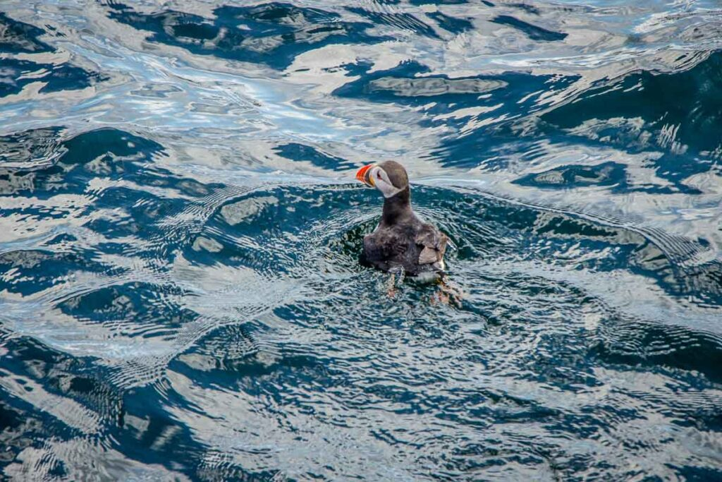 image of puffin in water on Isle of Skye