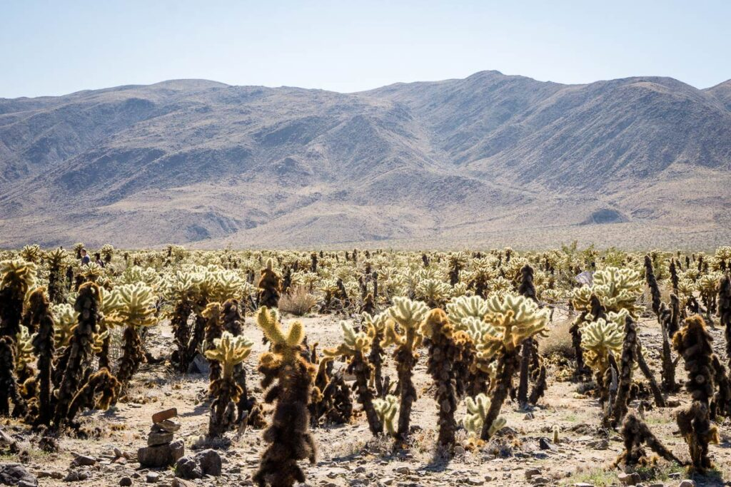 image of Cholla Cactus Garden, one of the best things to see in Joshua Tree