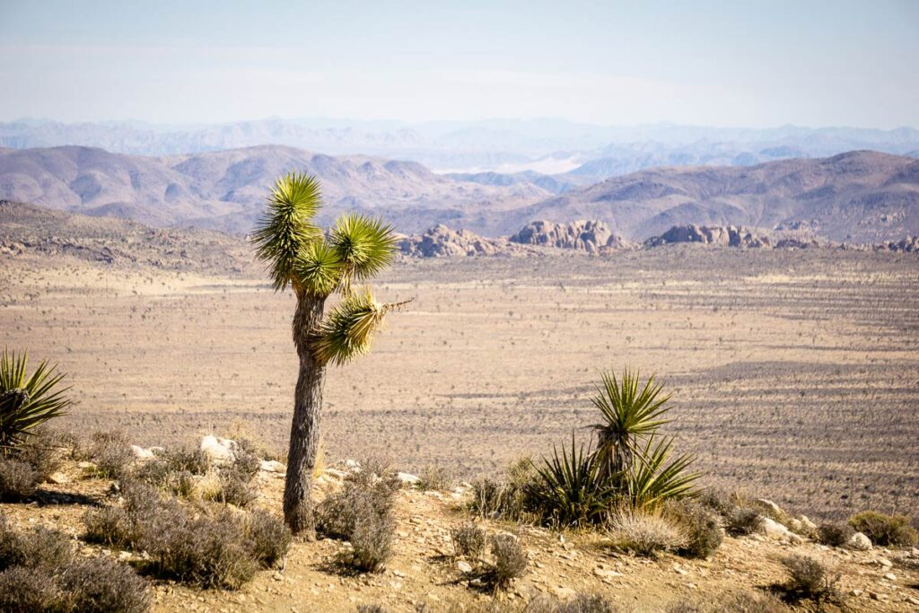 Image of a Joshua Tree in Joshua Tree National Park