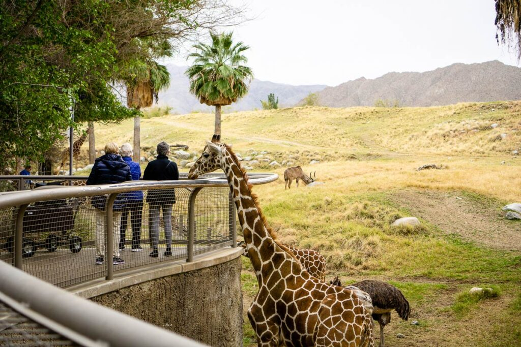 image of giraffe feeding at Living Desert Zoo in Palm Springs