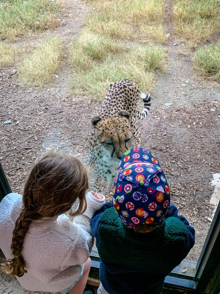 image of kids looking at cheetah at Living Desert Zoo in Palm Springs