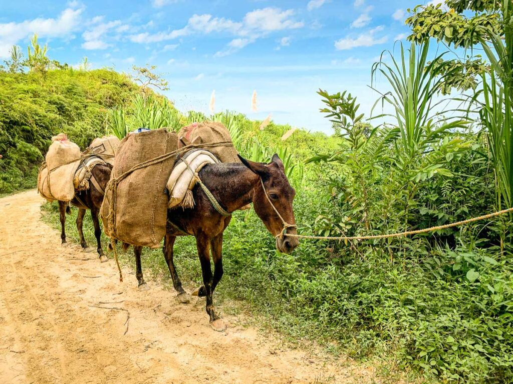 mules (mulas) carry supplies to the camps along the Lost City trek, Colombia
