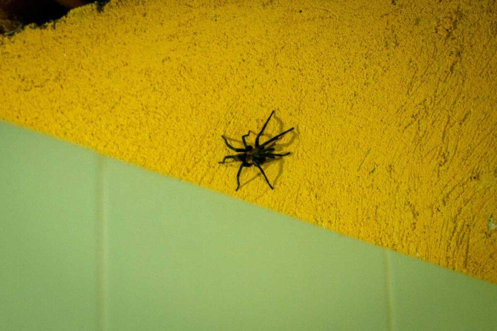 A tarantula on the wall of Camp 1 toilet on the Ciudad Perdida trek, Colombia