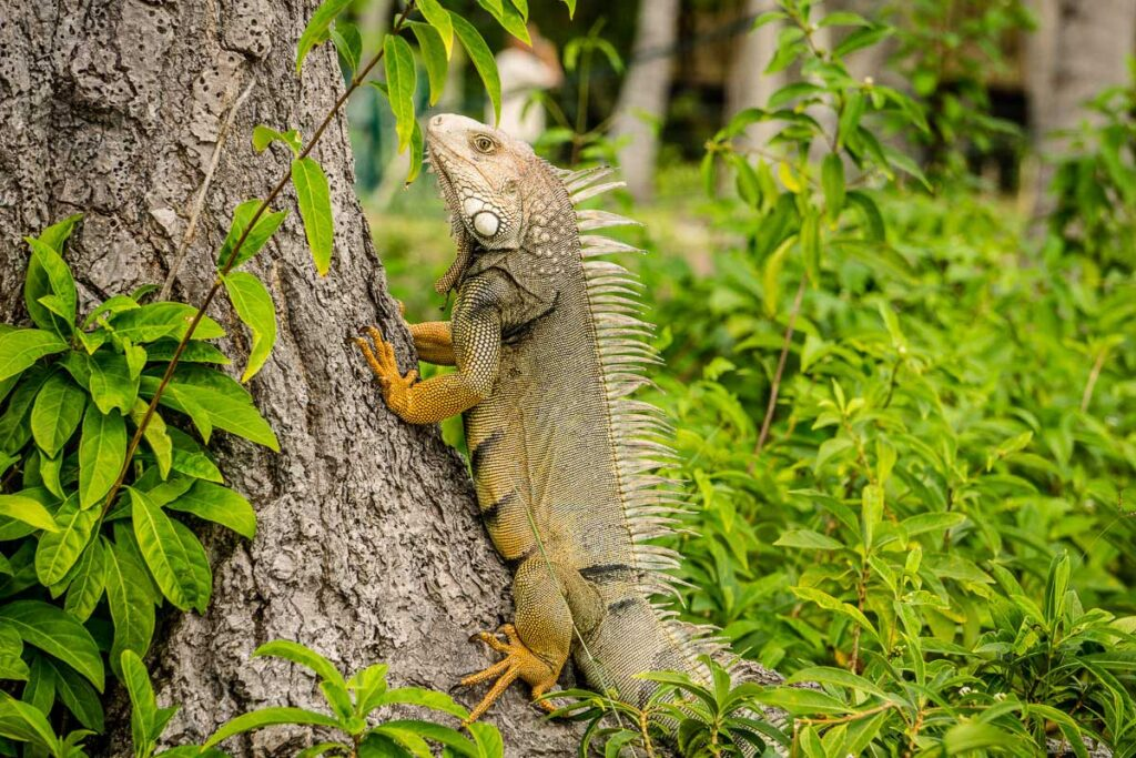 A beautiful, large iguana near our Family Hut at the Dahlandia hotel