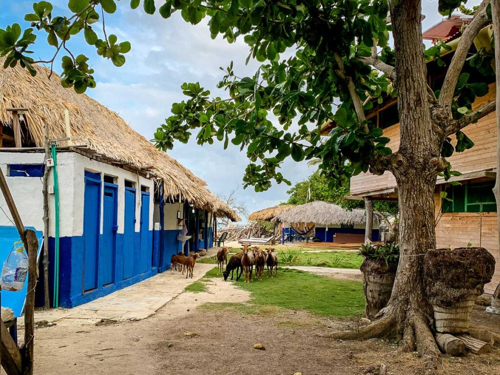 A herd of goats gathers outside the communal toilets and showers at Dahlandia, Isla Mucura
