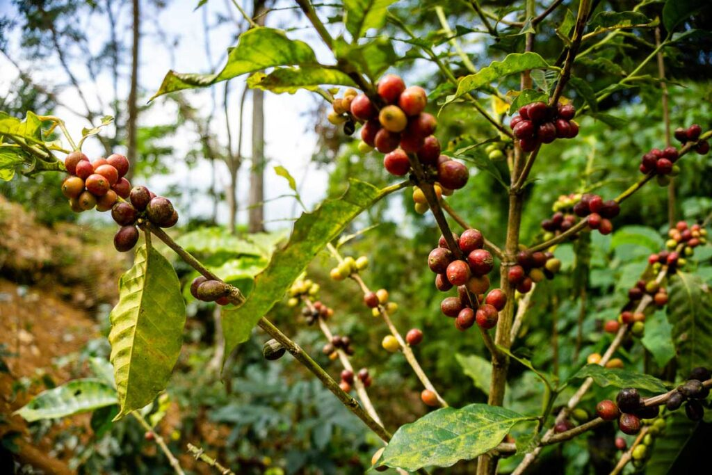 Colombian coffee beans grow at an organic farm n Minca