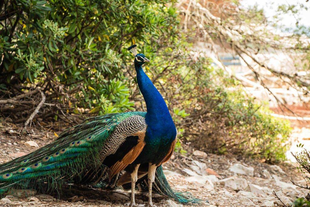 Peacock on Lokrum Island - Day Trip from Dubrovnik with children