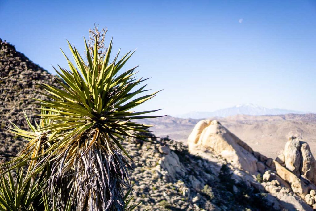 Image of Mojave Yucca on Ryan Mountain Joshua Tree