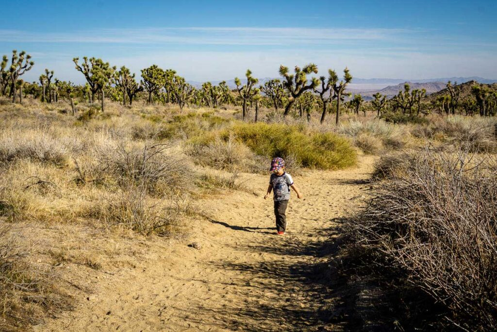 Look at all the lush joshua trees on the Panorama Loop hiking trail near Black Rock campground