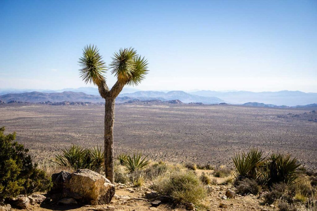 The Joshua Trees growing along the Ryan Mountain Trail do not impact your views of Joshua Tree National Park