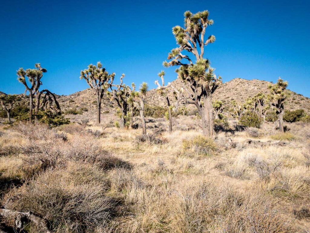 The joshua trees in the Black Rock Canyon are very robust