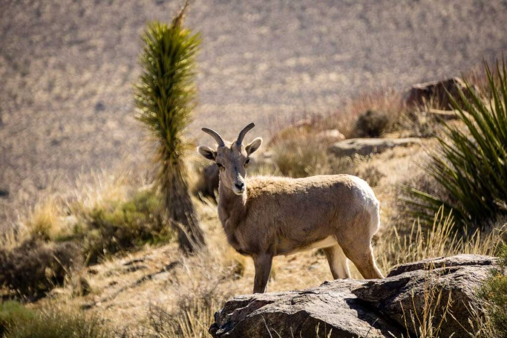 Where can I find animals in Joshua Tree? This Desert Bighorn Sheep was on Ryan Mountain