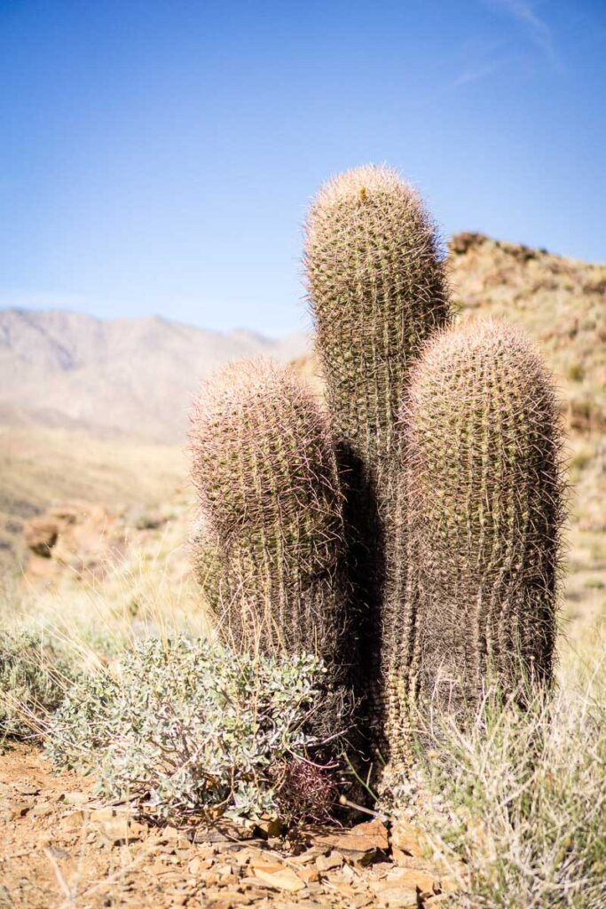 tall cacti grow on the indian canyon trails in palm springs