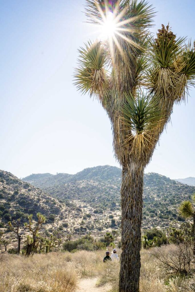 You will find healthy, beautiful joshua trees in Black Rock Canyon