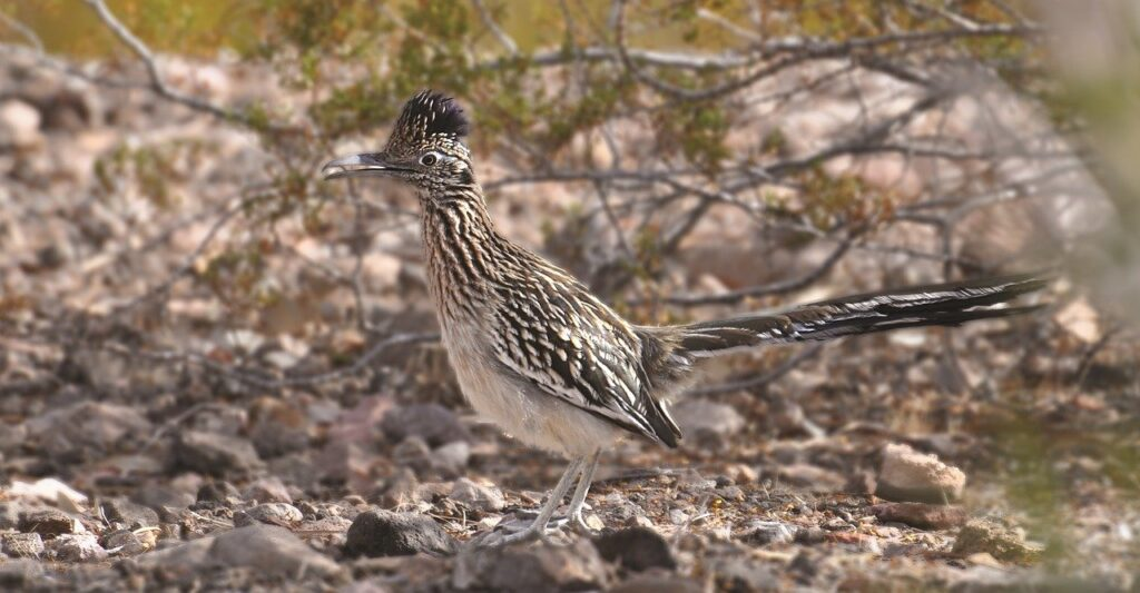 Try the Oasis of Mara hike to find Roadrunners in Joshua Tree