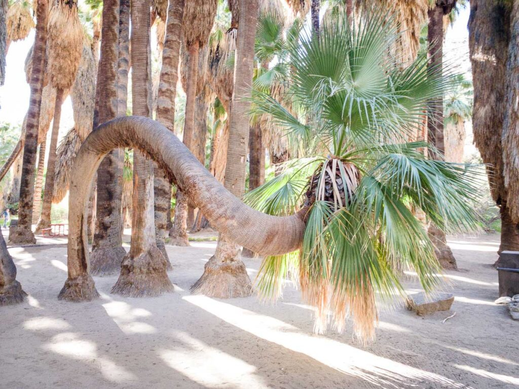 Image of a twisted palm tree in Indian Canyons, Palm Springs