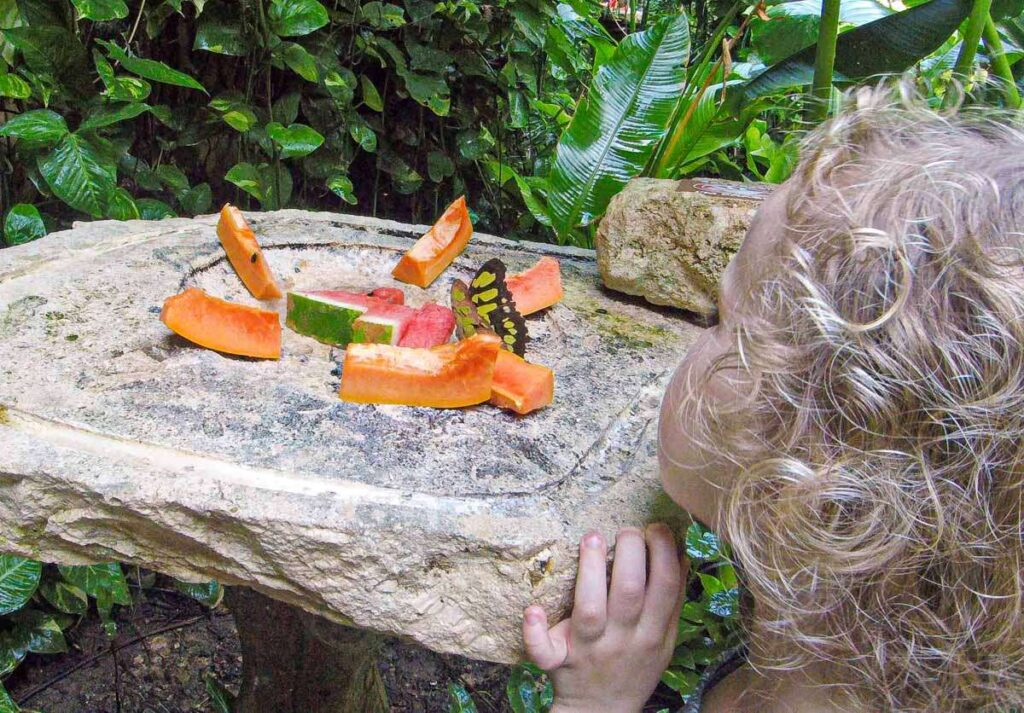 A child watches a butterfly eat fruit at the Xcaret Butterfly Pavilion