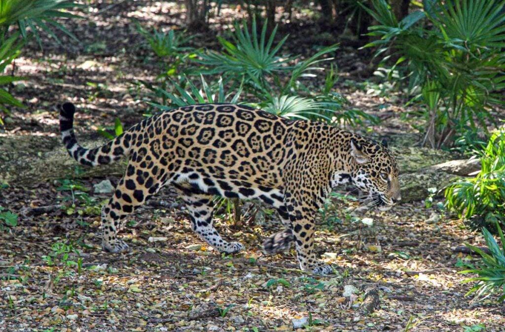 xcaret park exhibits jaguar island