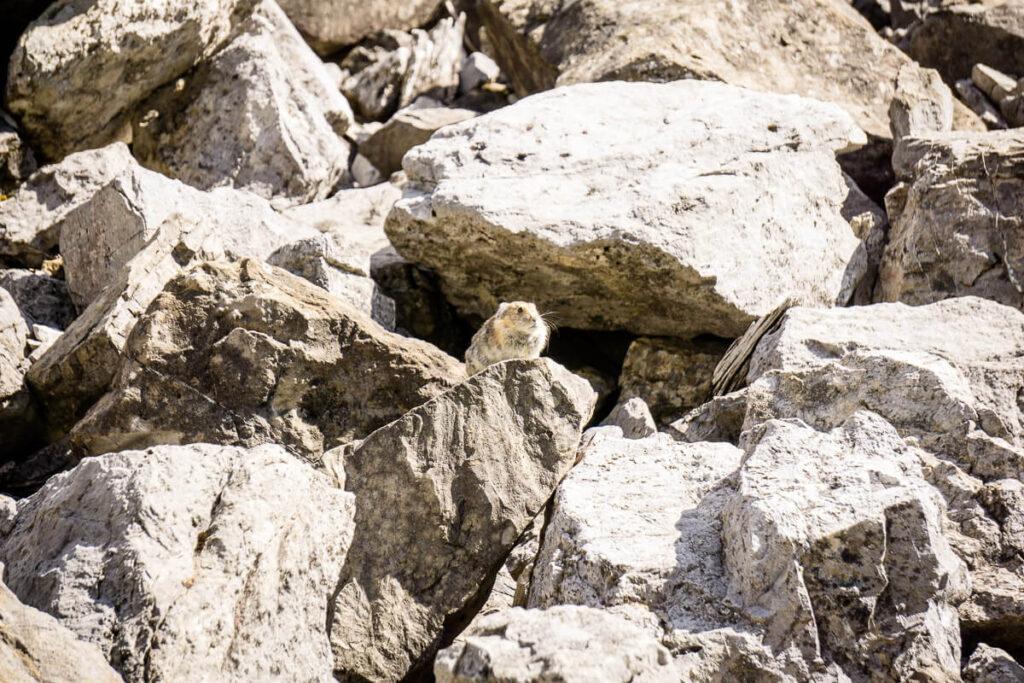 Pika - Banff Wildlife
