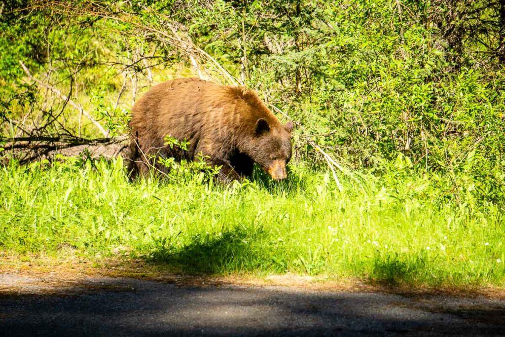 Bear in Banff National Park