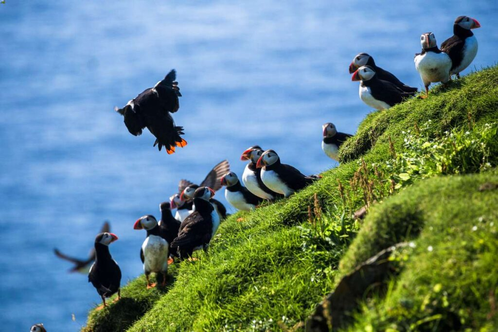 seeing Atlantic Puffins should be on your list of things to do in iceland with kids