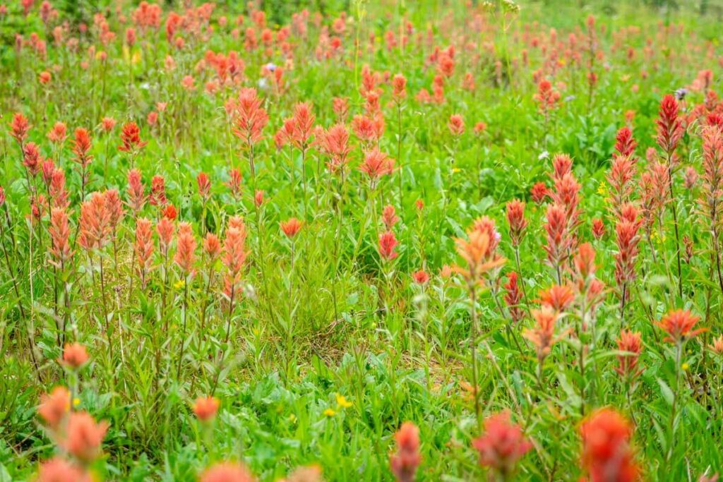 Mount Revelstoke National Park wildflowers - Indian Paintbrushes along the kid-friendly First Footsteps trail