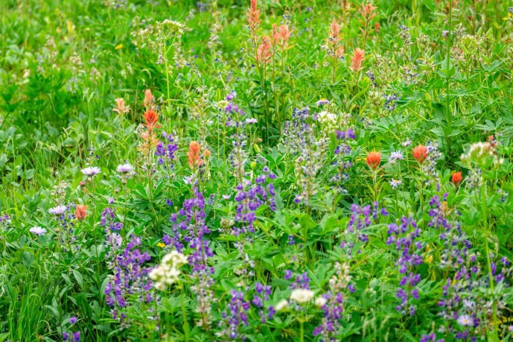 easy hikes near revelstoke - wildflowers on the First Footsteps trail