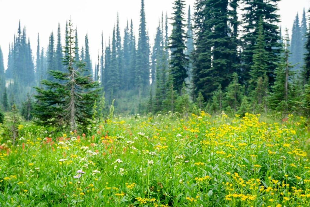 The Upper Summit trail is one of the best mount revelstoke trails for wildflowers